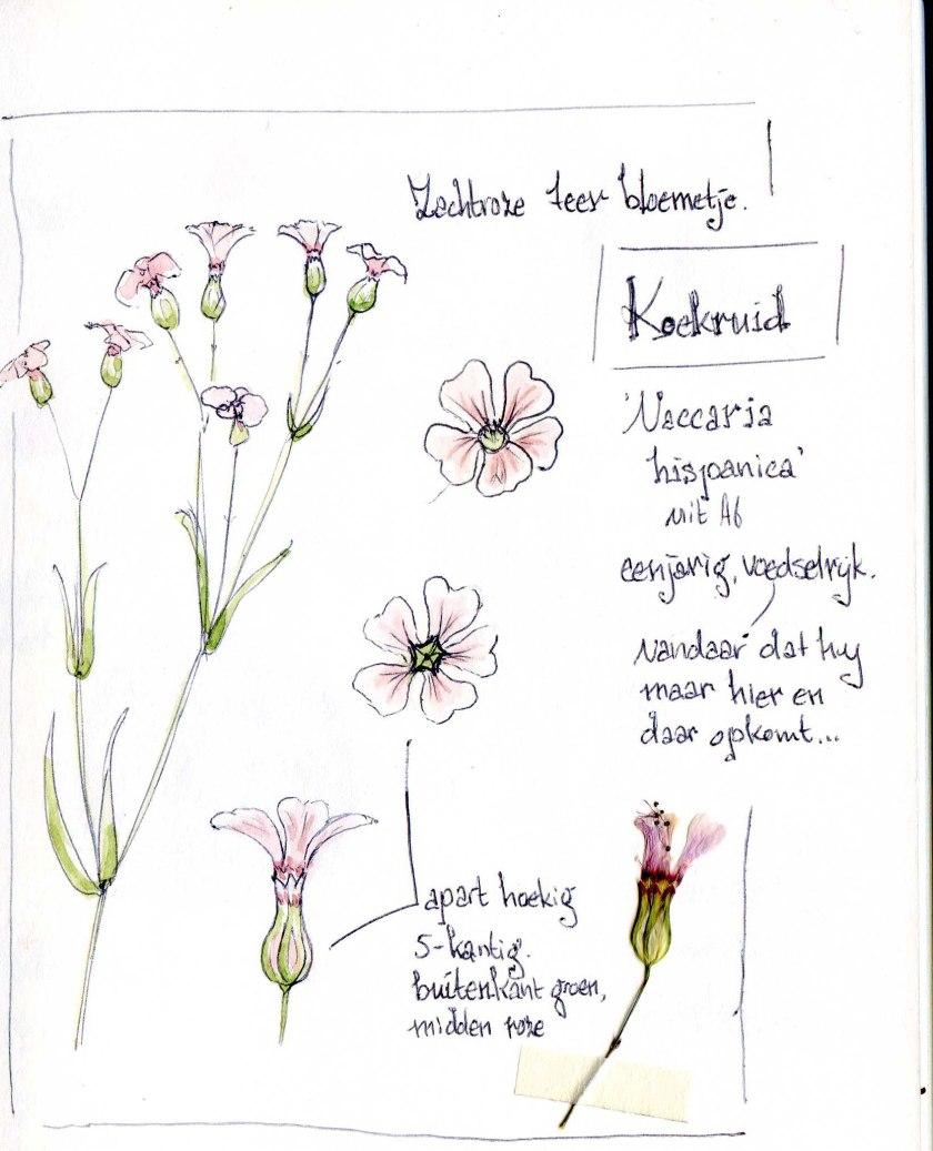 Koekruid (Vaccaria hispanica)