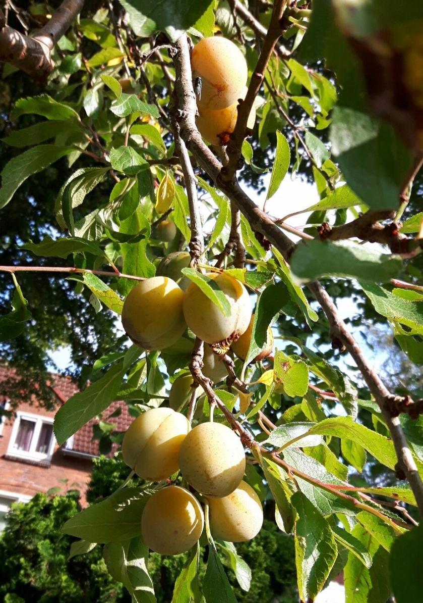 pruimen aan de boom