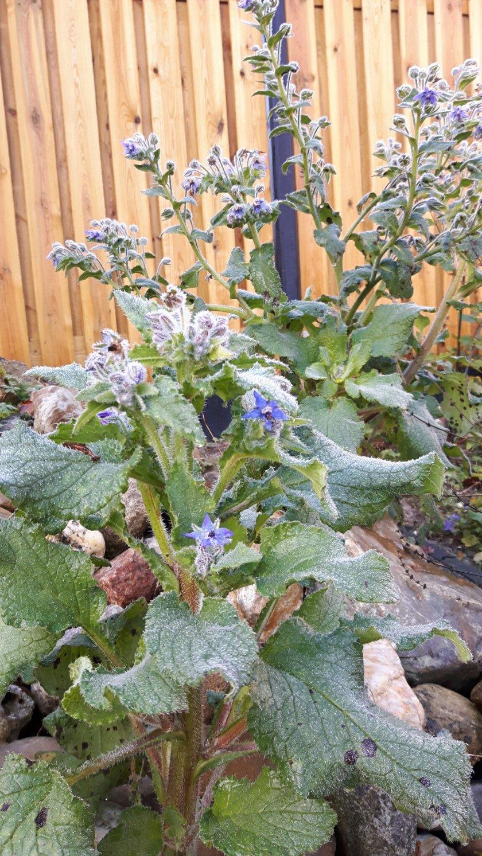 borage (komkommerkruid) bloeit laat