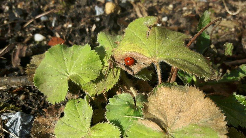 Lieveheersbeestje op de Vrouwenmantel (Alchemilla mollis).