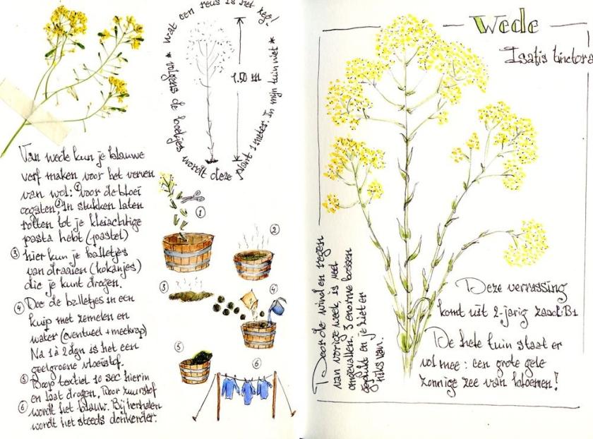 Wede - Isatis tinctora