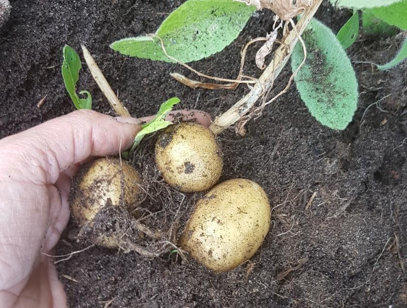 schatgraven naar aardappels