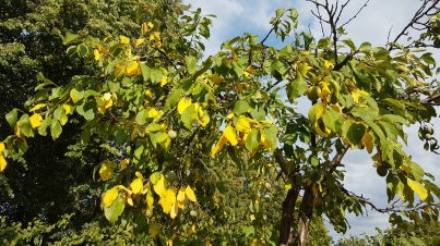 De pruimenboom krijgt gele blaadjes