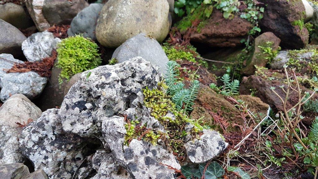 mossen, rotsplanten en muurleeuwenbek op de stenenhoop.